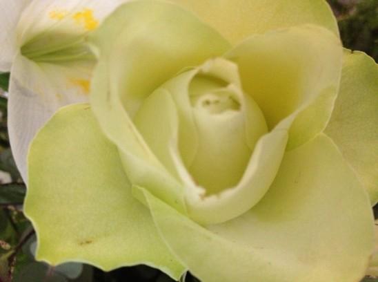 white rose closeup - 2013